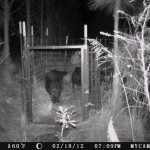 5 Wild Hogs in a Trap