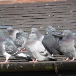 Pigeons on Roof : Pigeon Removal