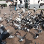 Pigeon Swarm : Pigeon Trapping