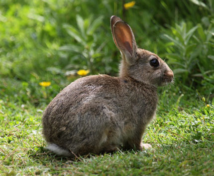 rabbit removal and hare removal professional services north florida