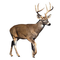 Deer Removal in Jacksonville, Florida