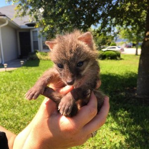 Grey Fox Rescue