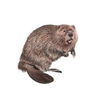 Beaver Removal Services