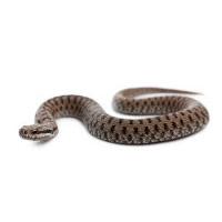 Snake Catchers of North Florida