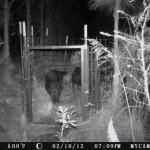 5 Wild Hogs in a Trap