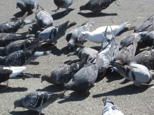 Pigeon Control and Removal Services