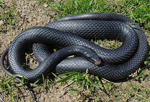 Most Common Snakes in Jacksonville Florida- Quick Catch