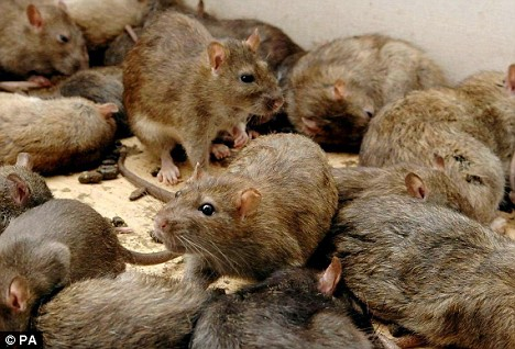 Top 10 Tips For Preventing Rat Mice And Rodent Infestation