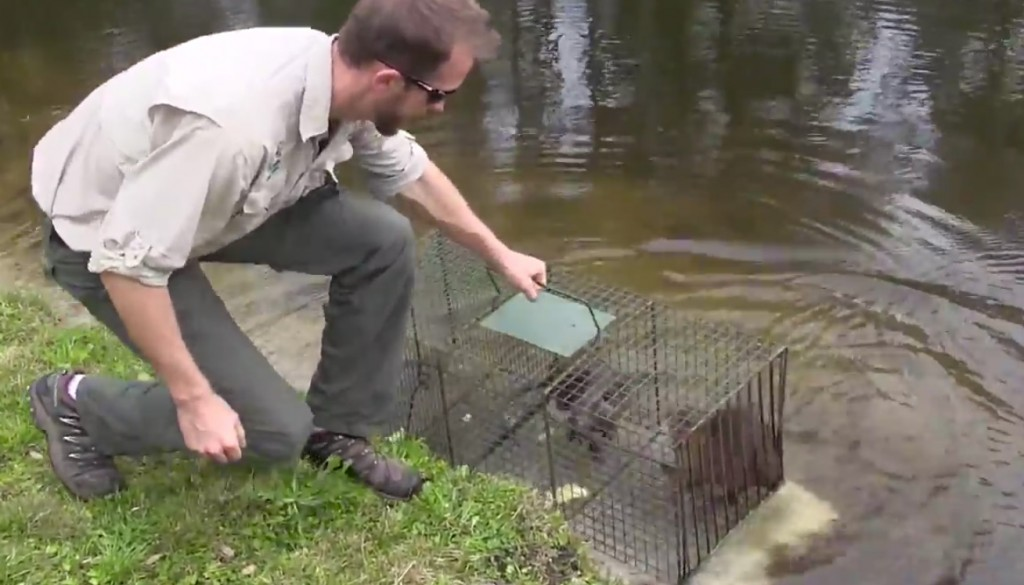 Nutria Infestation Removed From Home Owners In North Florida