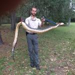 Huge Moccasin Snake Removal