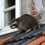 Racoons in the Attic