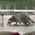 Raccoon being trapped