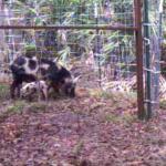 Wild Hog Video