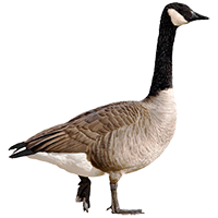 Canadian Goose Removal