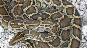 Florida Burmese Python