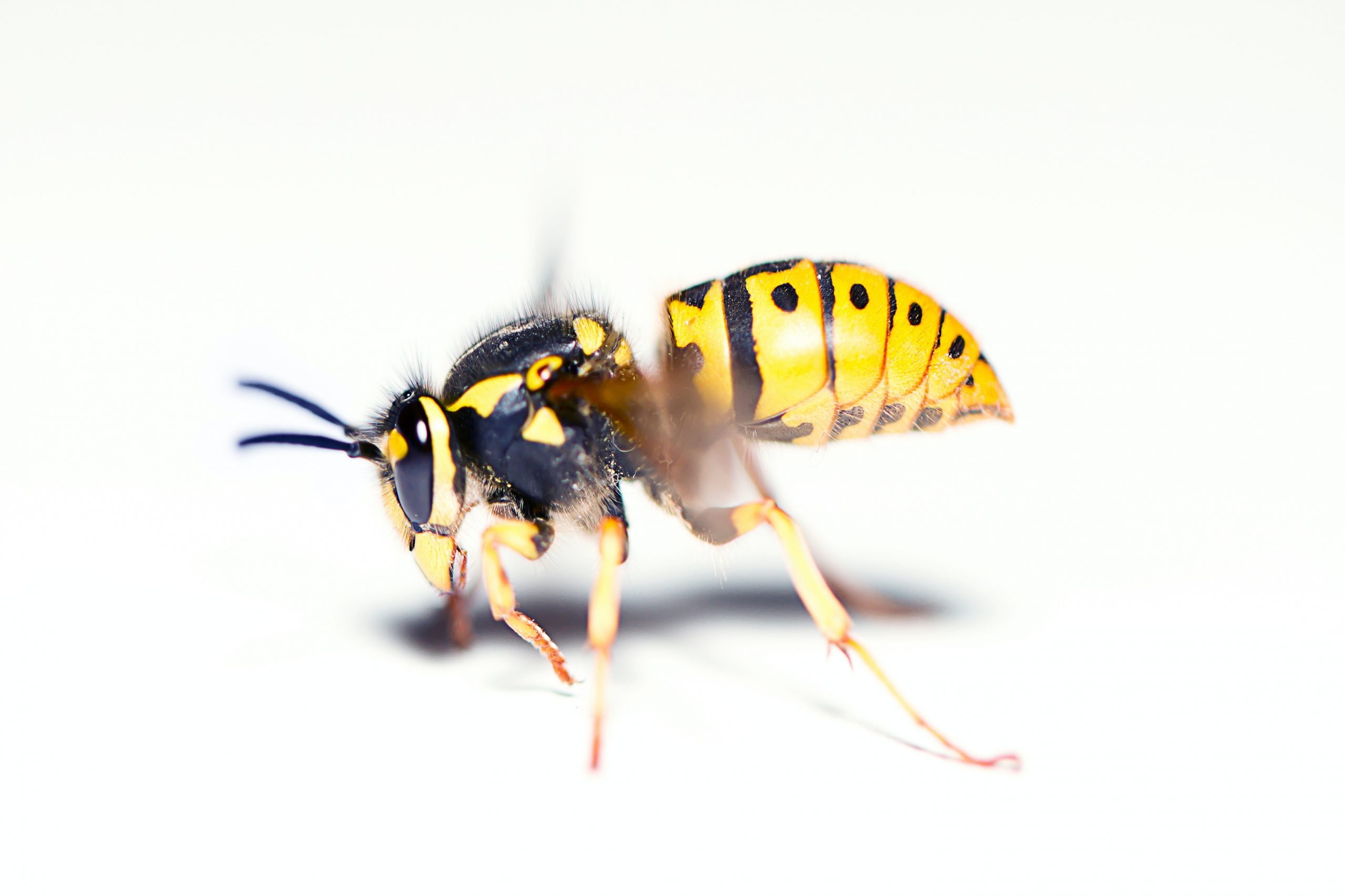 Bee, Wasp, Hornet Removal